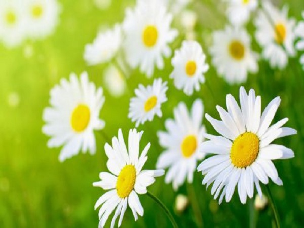 Giải mã bí ẩn trong giấc mơ thấy hoa cúc