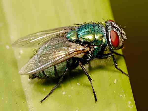 Mơ thấy con ruồi