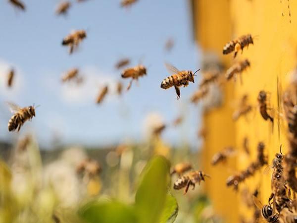 Nằm mơ thấy ong mật có ý nghĩa gì đánh con gì dễ trúng